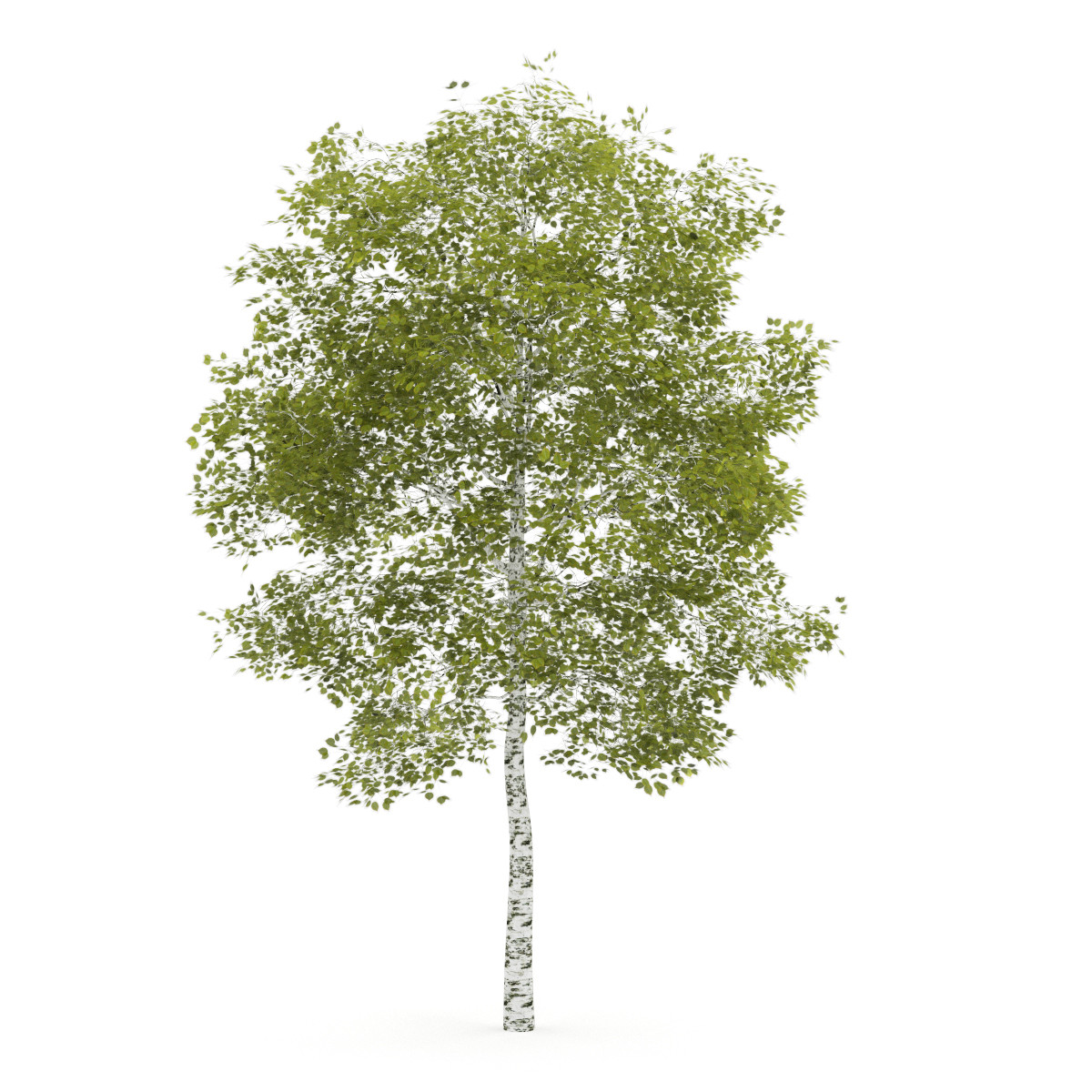 Birch-Tree 4.5m - CGAxis 3D Models.