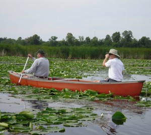 Canoeing down the Pelican River to dig out Flowering Rush, an invasive plant.